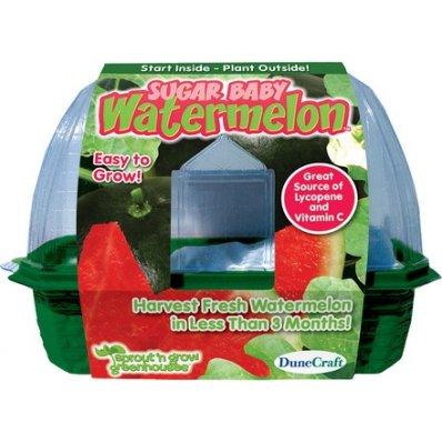 Domowa hodowla arbuza Sugar Baby - w 3 miesiące!