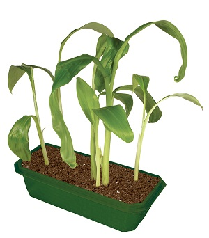Domowa hodowla banana